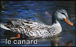 An image of a duck, 'le canard', in the water.